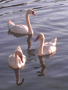 Lily Dale Swans
